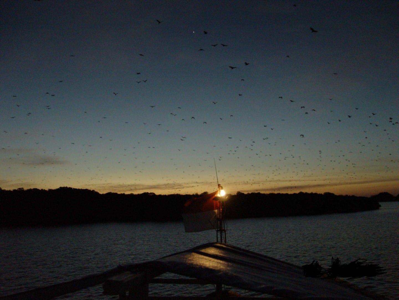 Miles de murciélagos zorro volador emergen de la isla Kalong al atardecer Labuan Bajo Indonesia