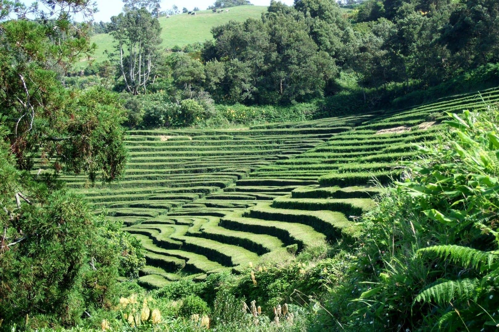 Plantas de té de Gorreana Isla de Sao Miguel Portugal