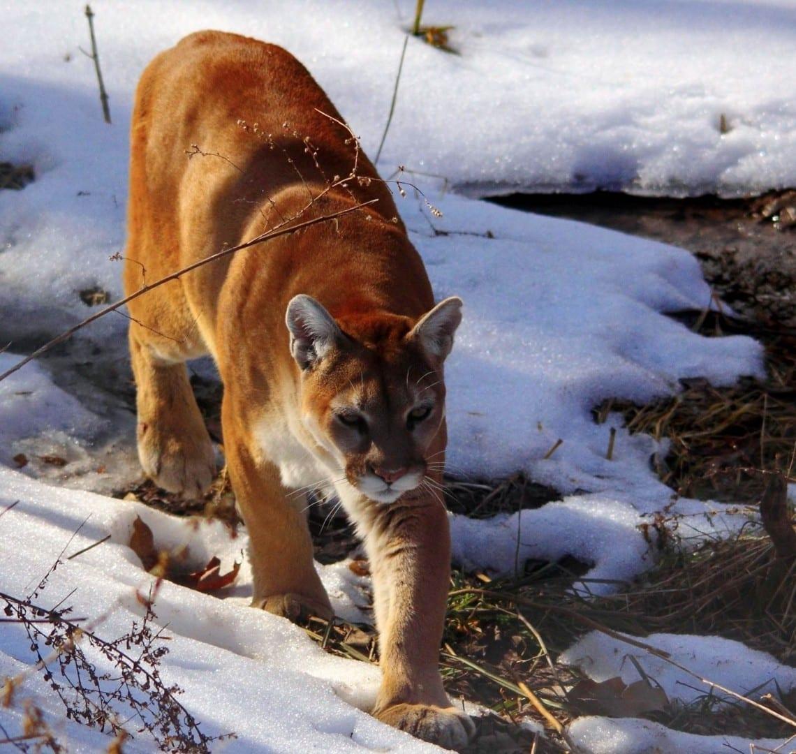Puma en el Parque de la Pradera de la Vida Silvestre Peoria IL Estados Unidos