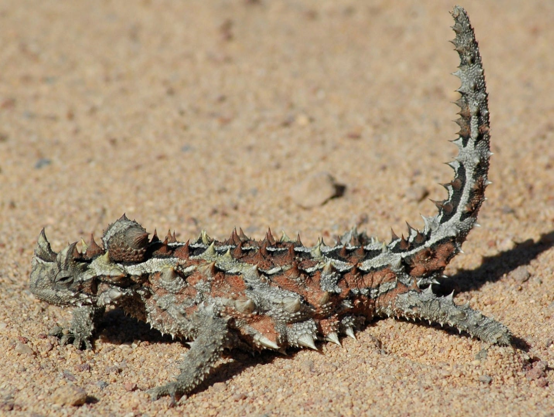 Un demonio espinoso, similar a los de la exhibición de reptiles del Parque del Desierto de Alice Springs Alice Springs Australia