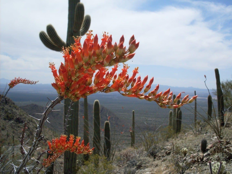 Vista desde el sendero de Hugh Norris Saguaro Parque Nacional AZ Estados Unidos