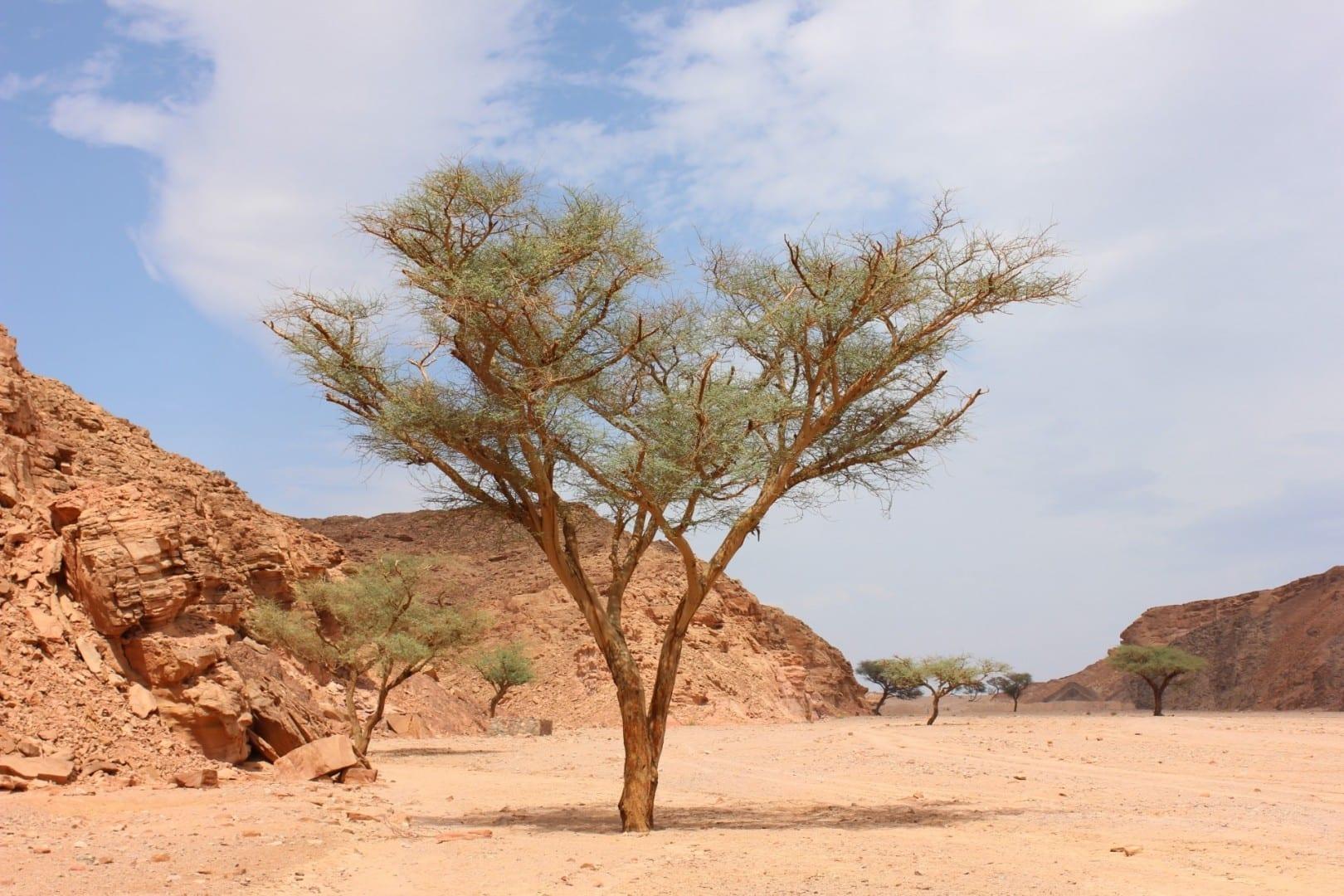 Acacia en el Oasis de A Khadra, Nuweiba Nuweiba Egipto