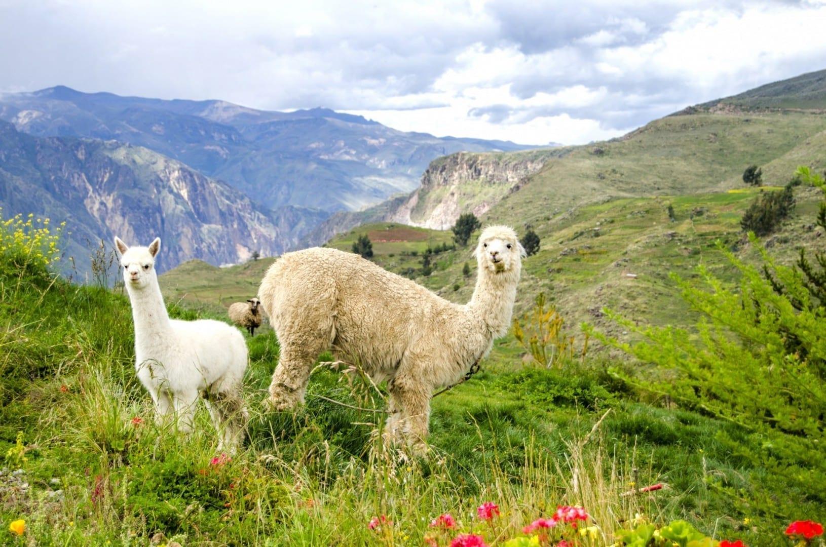 Alpacas Colca Perú