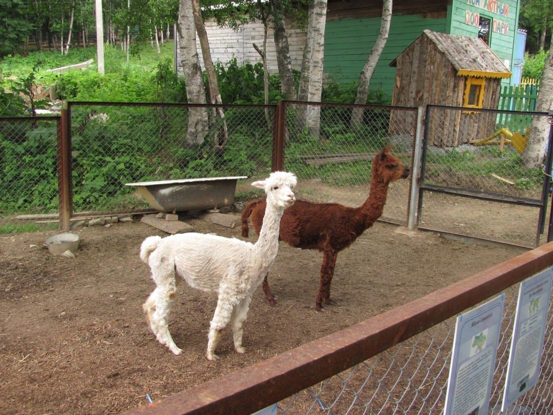 Alpacas en el zoológico de Yuzhno-Sakhalinsk Yuzhno-Sajalinsk Rusia