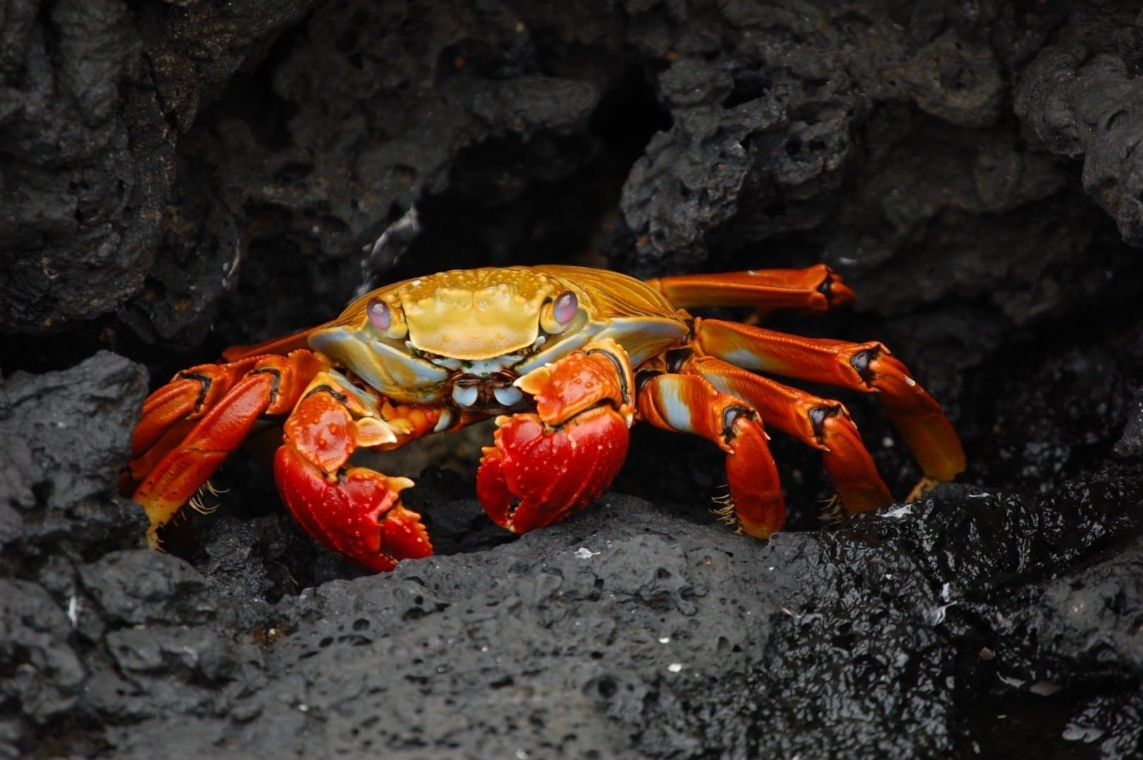 alt=Un cangrejo rojo sobre un fondo rocoso Las Islas Galápagos Ecuador