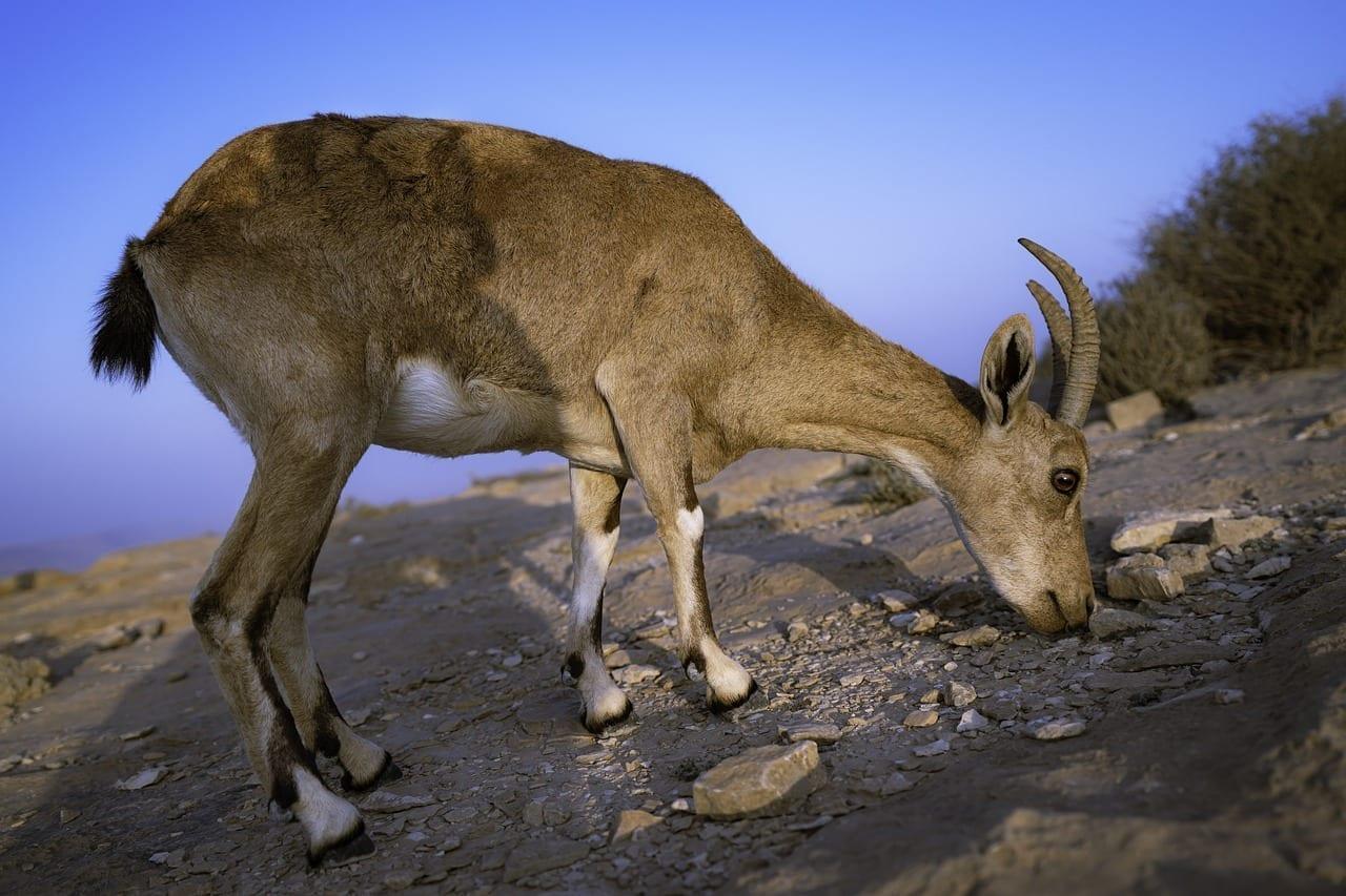 Animales Mitzpe Ramon Cabra Israel