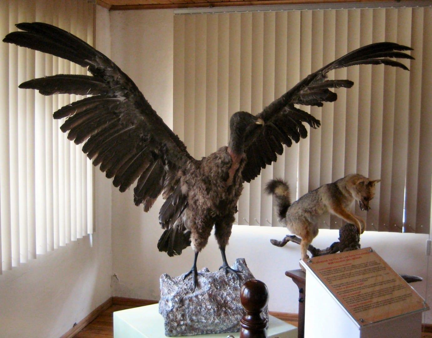 Cóndor Andino - Museo del Cotopaxi Cotopaxi Ecuador