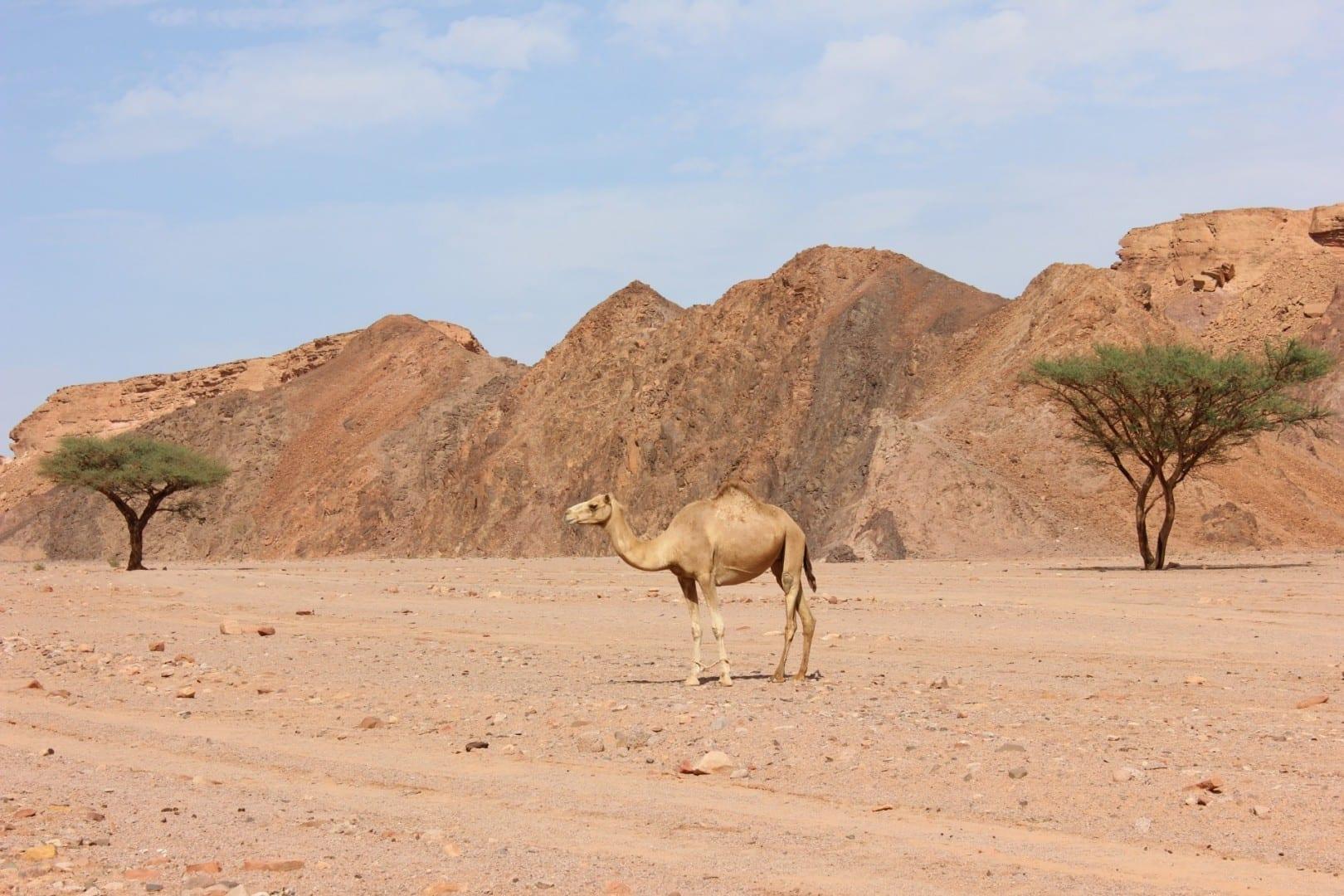 Camello en la Torre de la Discoteca, Nuweiba Nuweiba Egipto