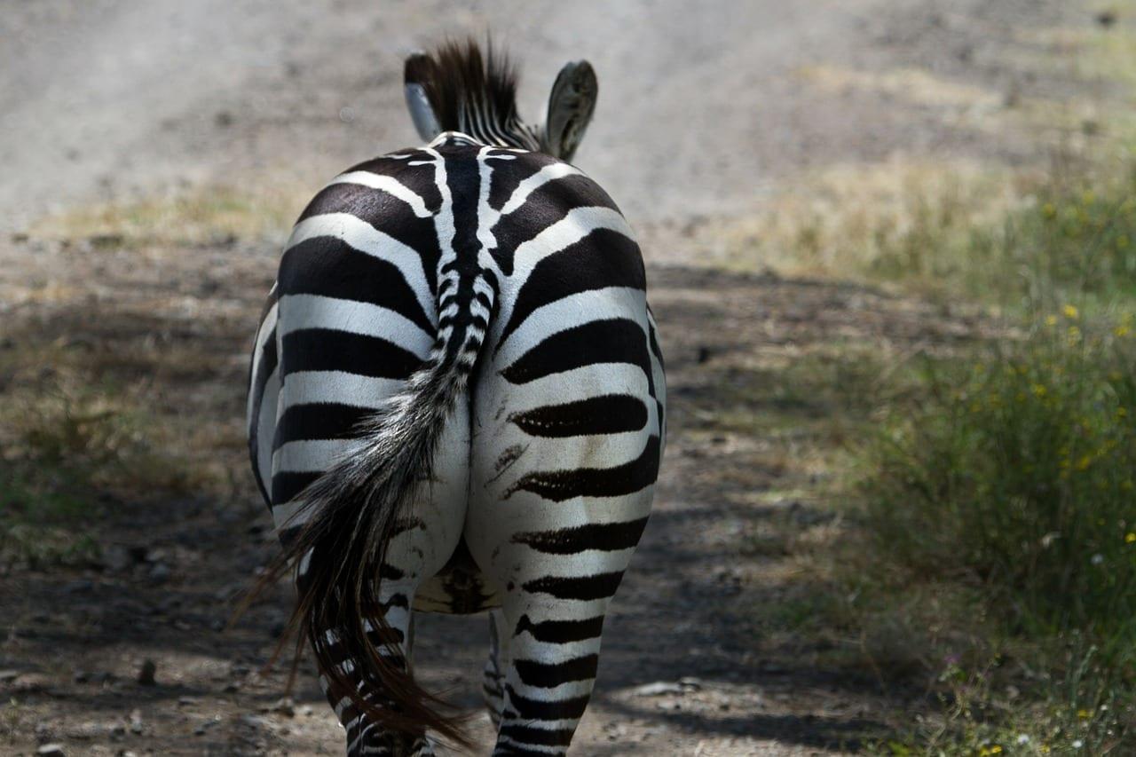 Cebra Parque Nacional Lago Nakuru Kenia