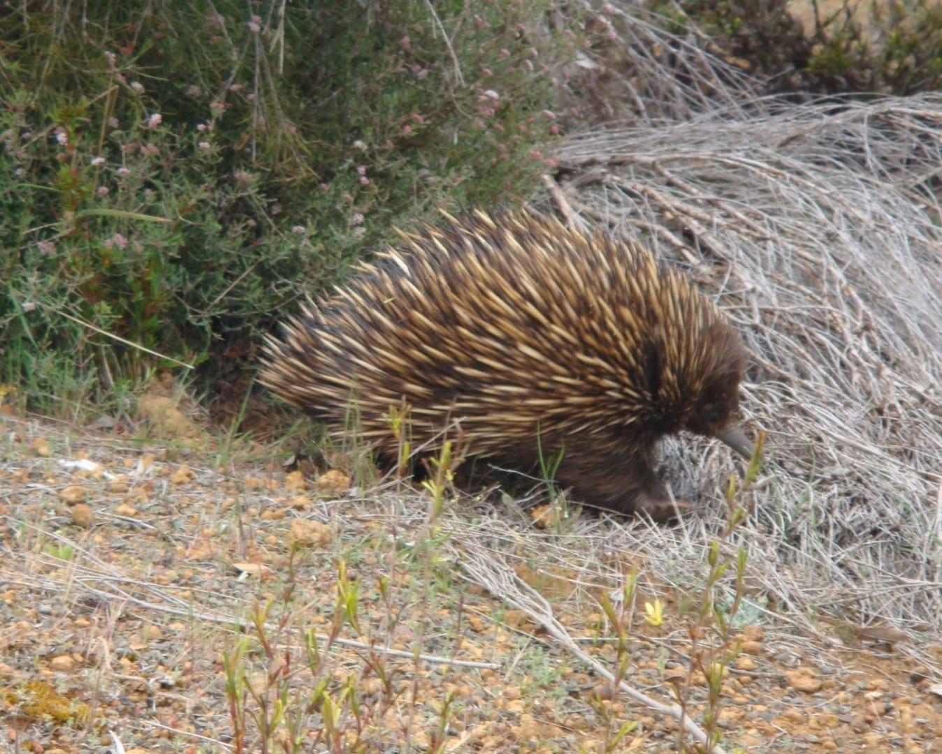 Echidna en Flinders Chase Nt. HP Kangaroo Island Australia