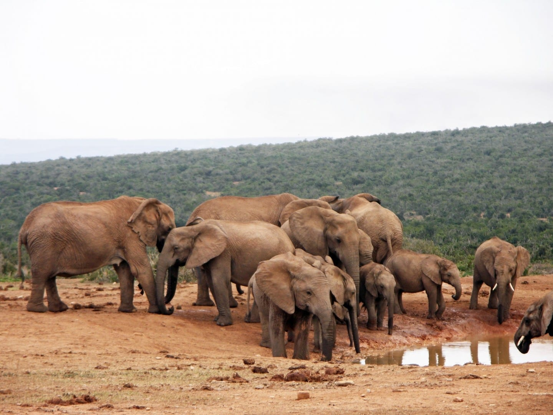 El elefante en la presa Hampoor Parque nacional de los Elefantes de Addo República de Sudáfrica