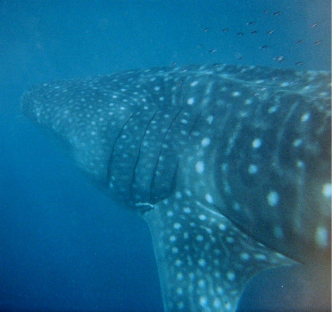 El tiburón ballena en el Arrecife Ningaloo Exmouth Australia