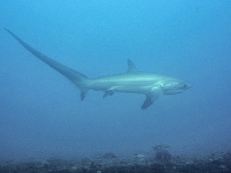 El tiburón zorro en el banco de arena de la Mónada Isla Mala Pascua Filipinas