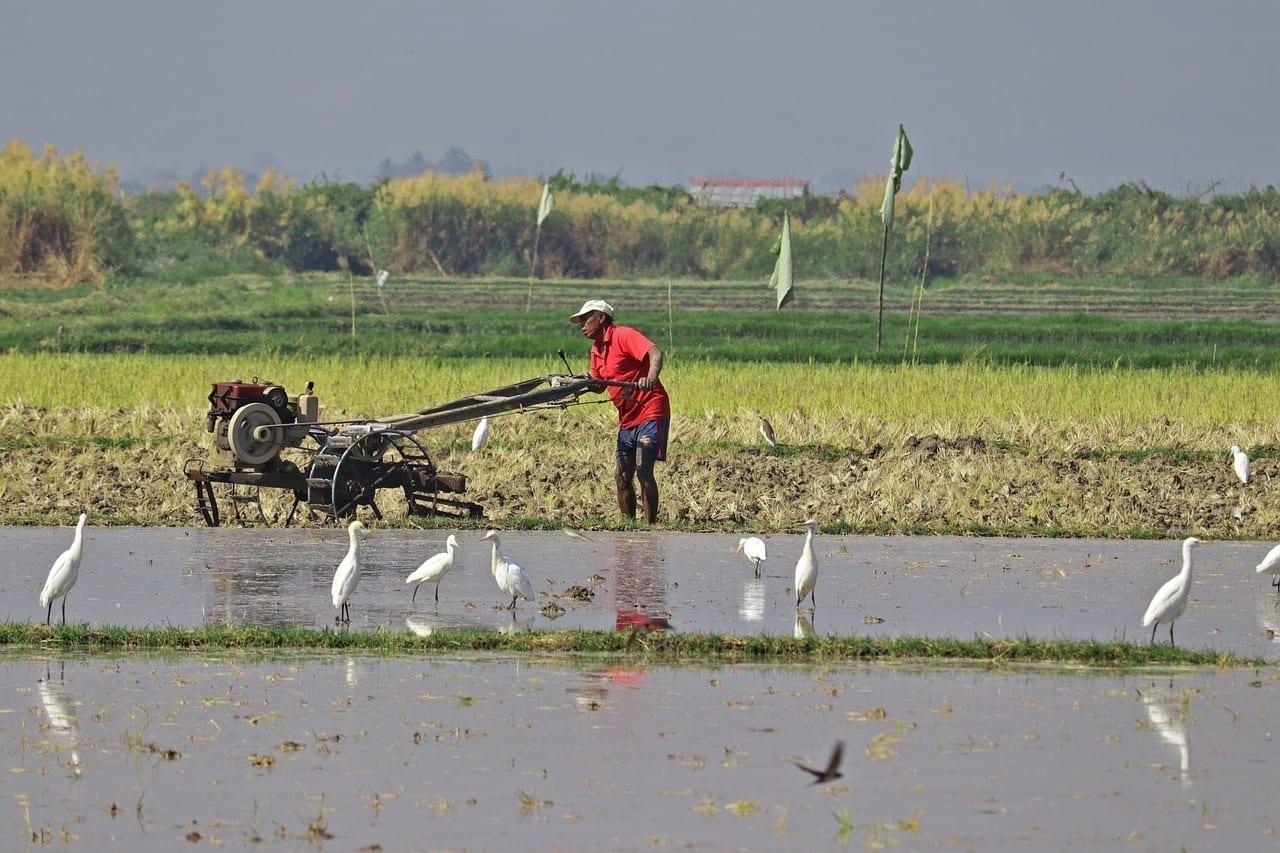 Granjero Campo De Arroz Lago Inle Myanmar