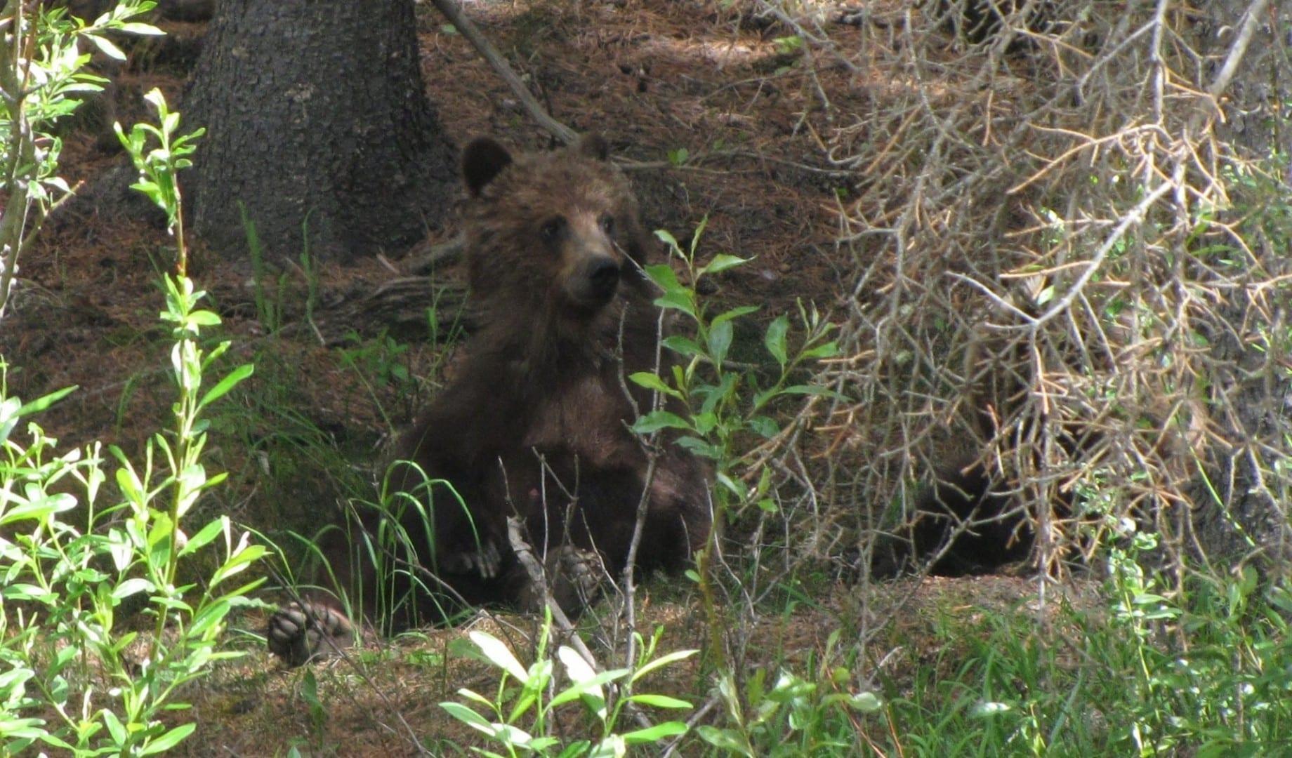Grizzly Cub en Kananaskis Kananaskis Canadá