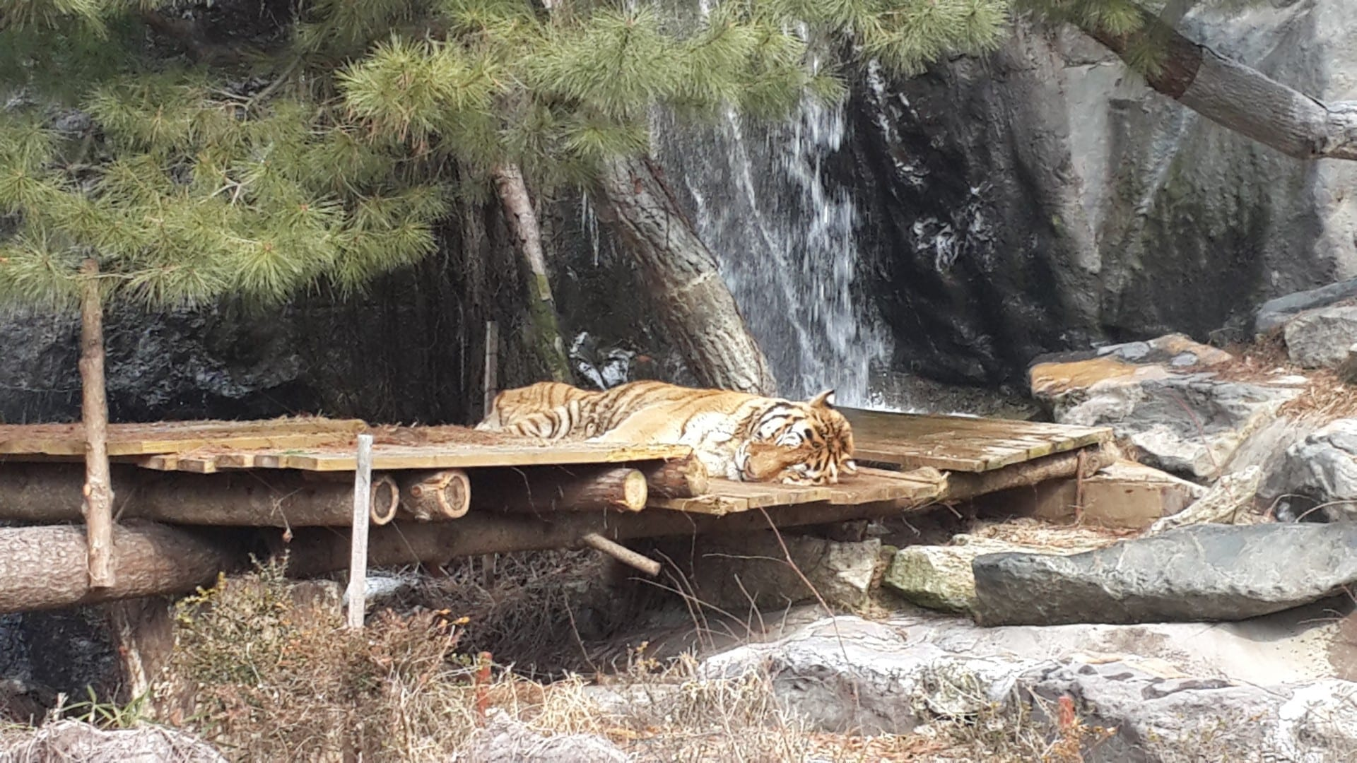 Hay tigres en el safari. Yongin Corea del Sur