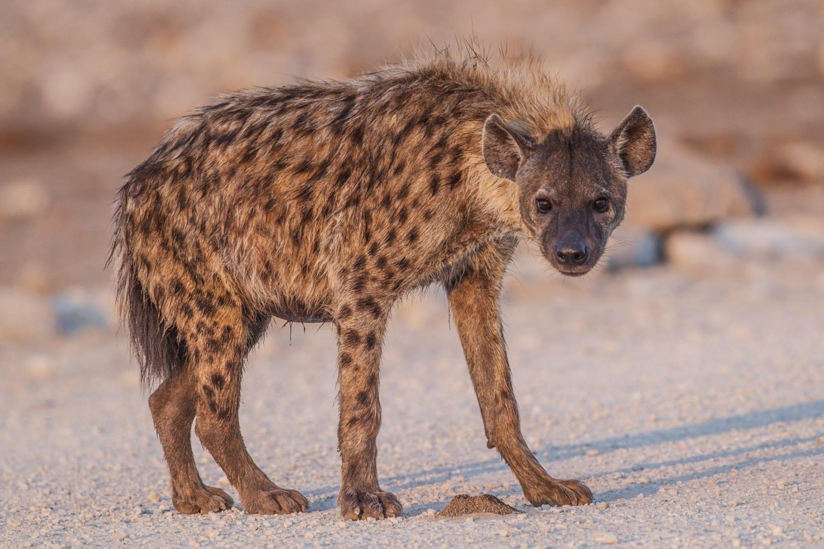 Hiena avistada en el Parque Nacional de Etosha Etosha: Parque Nacional Namibia
