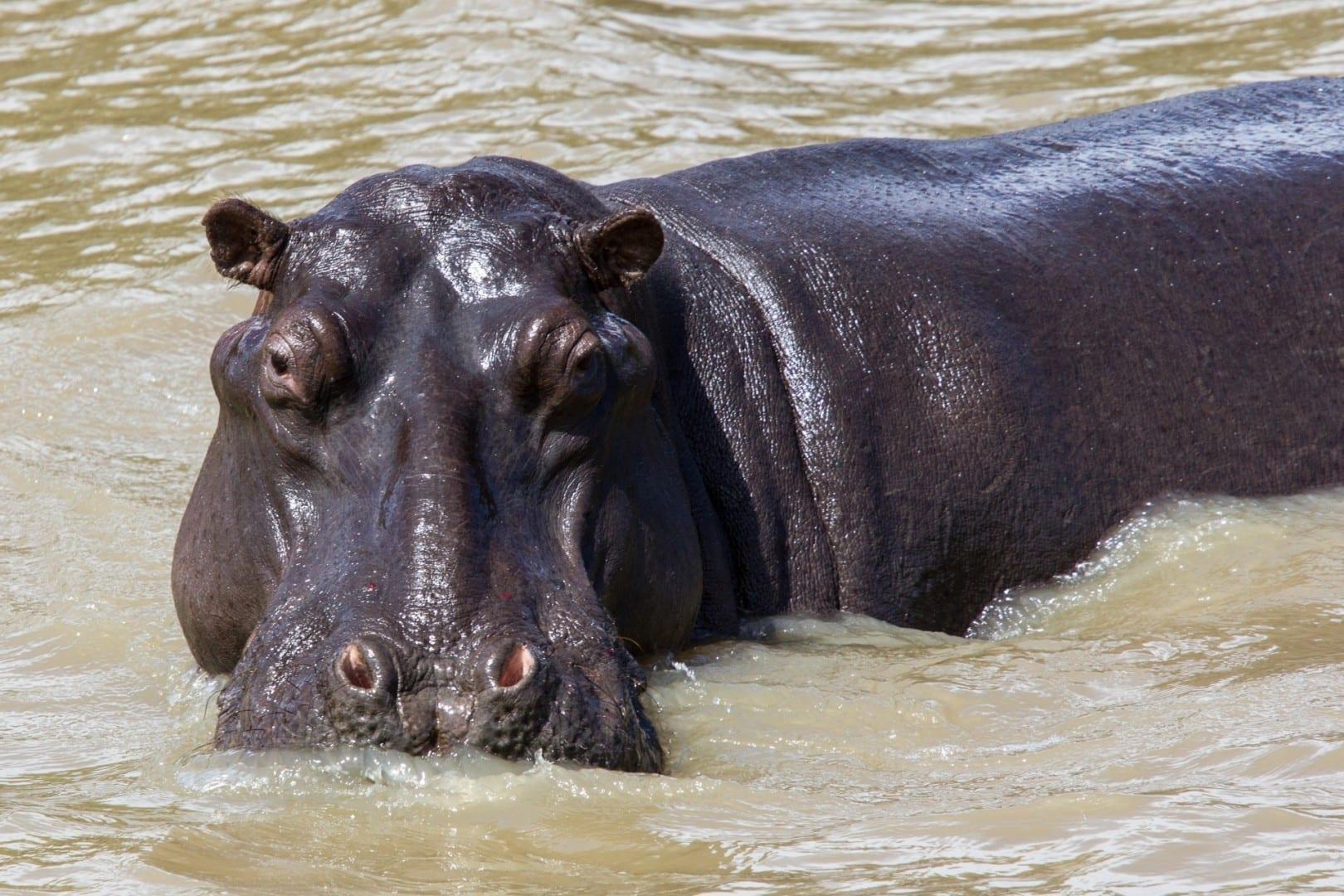 Hipopótamo en el Parque de Humedales de iSimangaliso St. Lucía República de Sudáfrica