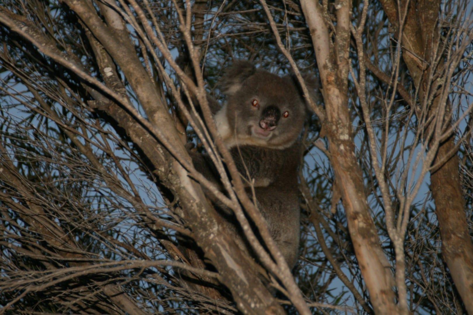 Koala en la Bahía de Vivonne Kangaroo Island Australia