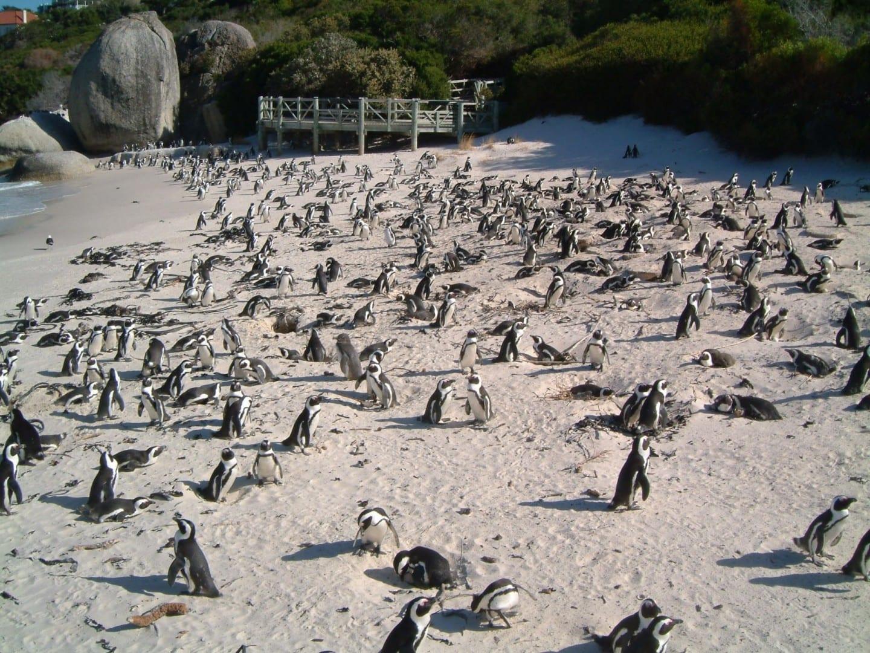 La colonia de pingüinos de Boulders Beach está cerca... Simons Town República de Sudáfrica