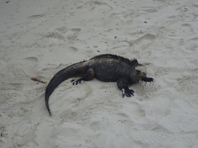 La iguana marina (Amblyrhynchus cristatus) en Tortuga Bay Isla Santa Cruz Ecuador