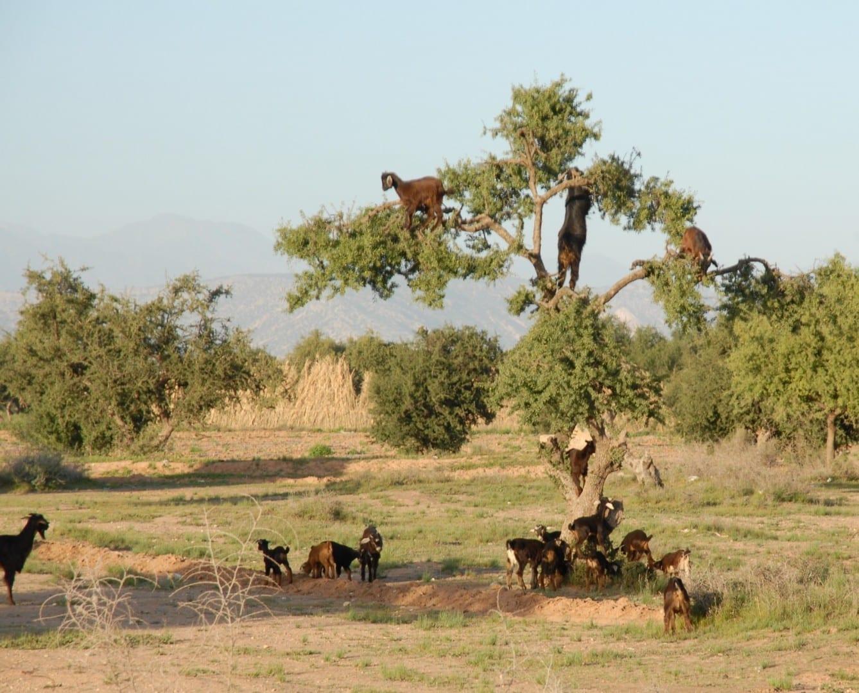 Las cabras en el argantro Tarudant Marruecos