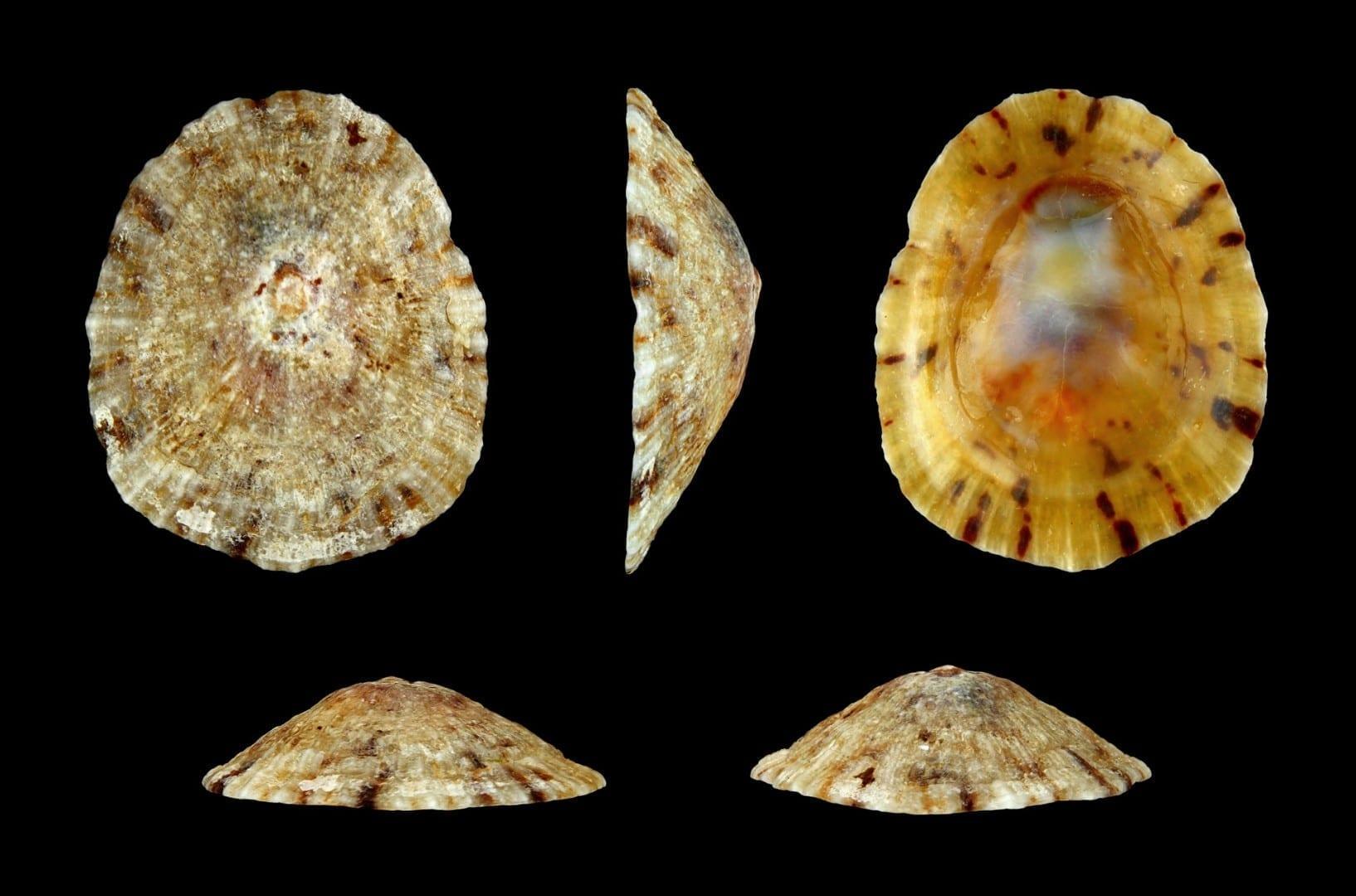 Las conchas lapa de las ruedas que se originan en el Mar Rojo cerca de Tabuk Tabuk Arabia Saudí