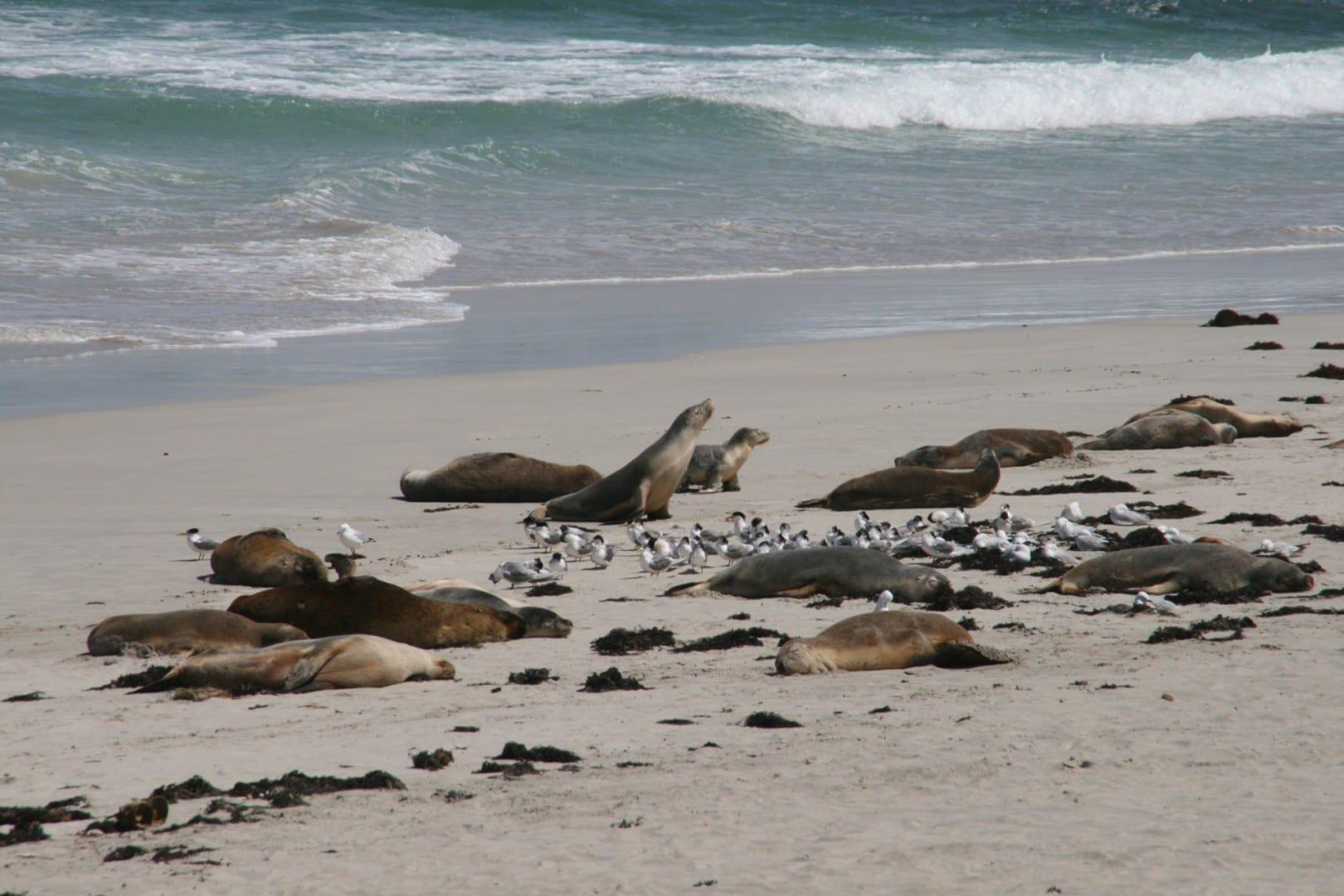 Leones marinos australianos en la playa de Seal Bay Kangaroo Island Australia
