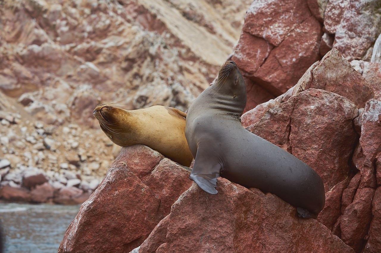 Lobos Marinos Mamíferos Paracas Perú