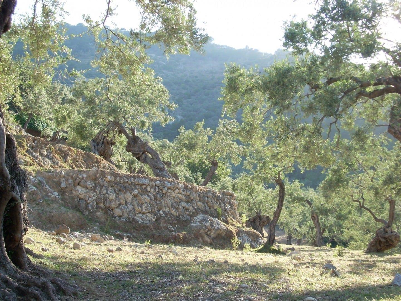 Los olivos a lo largo del camino de Deià a la cala Deià, Mallorca España