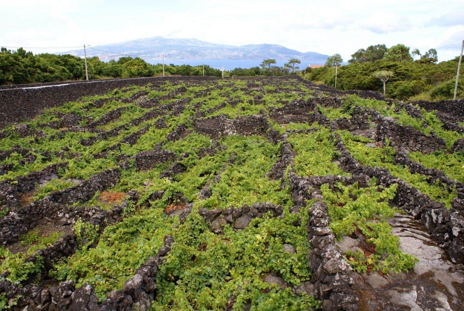 Los viñedos de Pico están en la lista de la UNESCO Ilha Do Pico Portugal