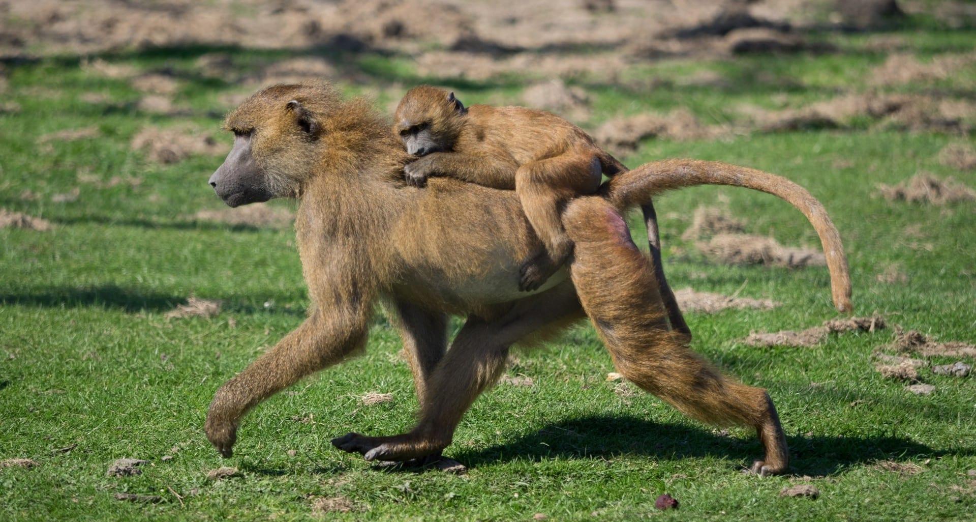 Madre e hijo de un babuino de Guinea en el Parque de Animales Salvajes de Port Lympne Hythe Reino Unido