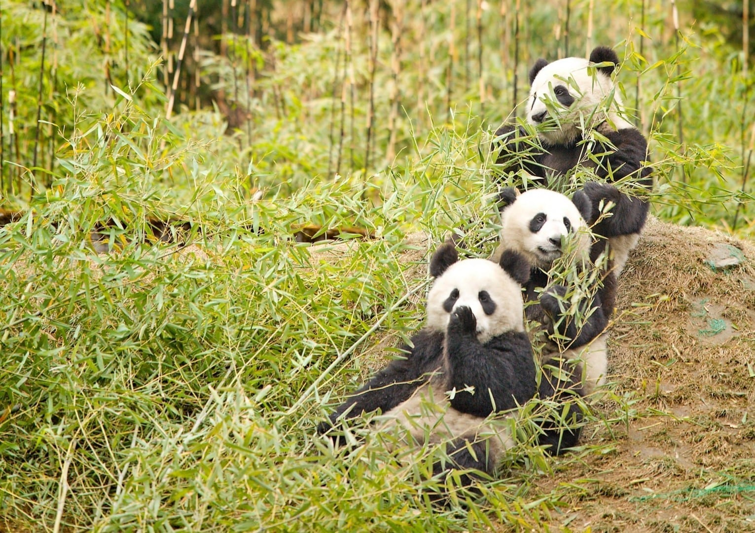 Pandas gigantes en el Santuario de Wolong Jiuzhaigou China