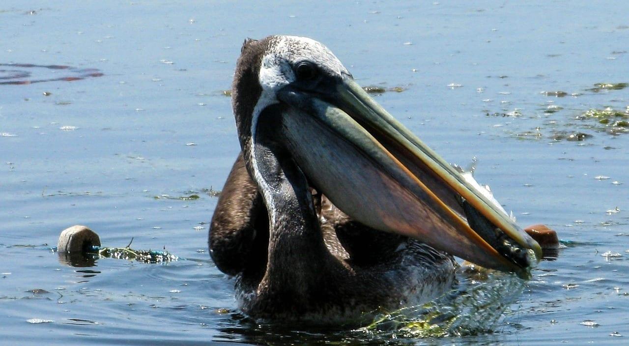 Pelikan Perú Paracas Perú