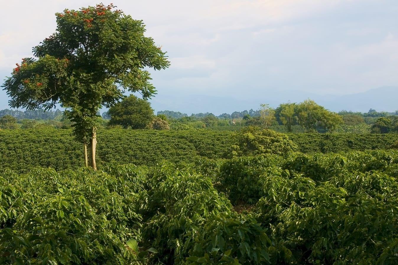 Plantación de café cerca de Quimbaya Quimbaya Colombia