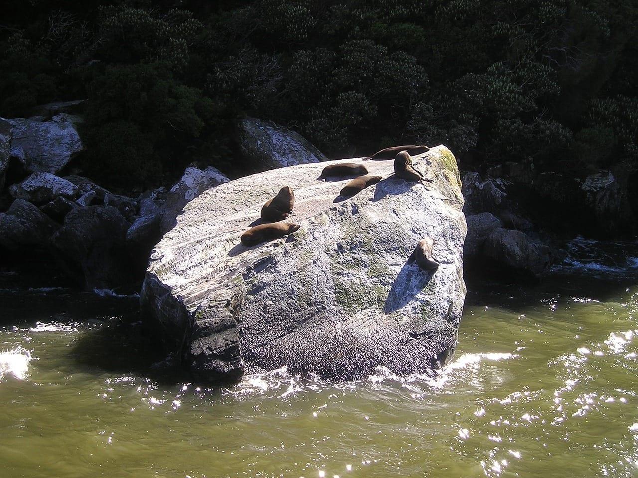 Sellos Nueva Zelanda Fiordland Nueva Zelanda