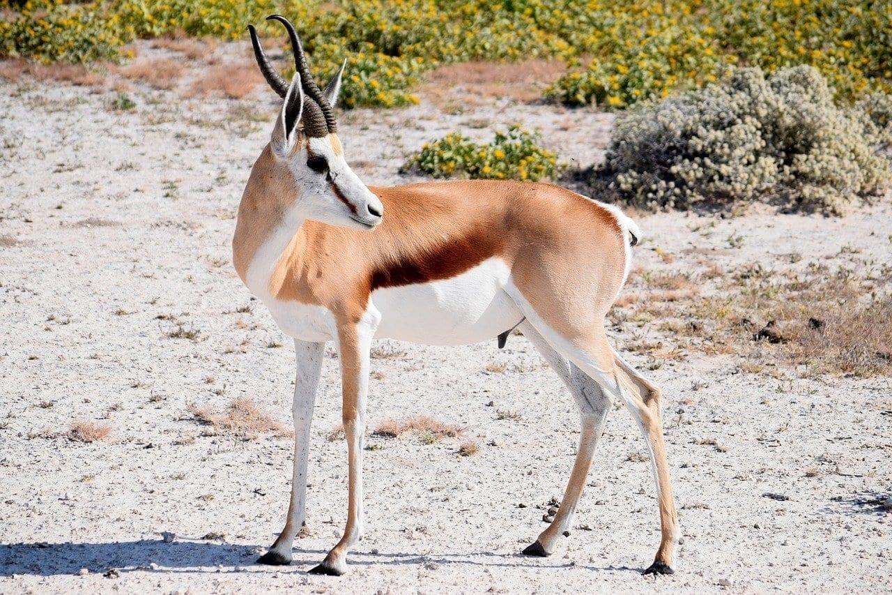 Springbok Masculina Antílope República de Sudáfrica