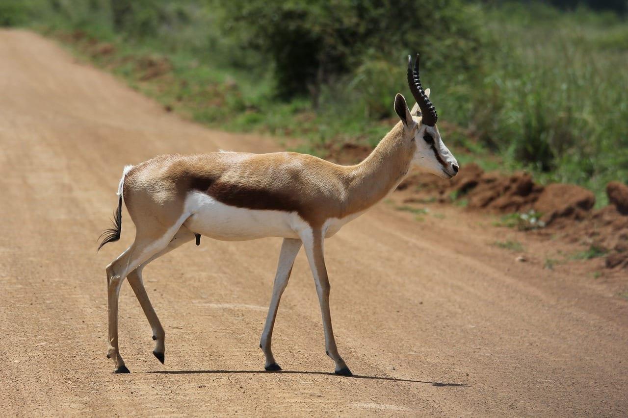 Springbok Ram Paseo República de Sudáfrica