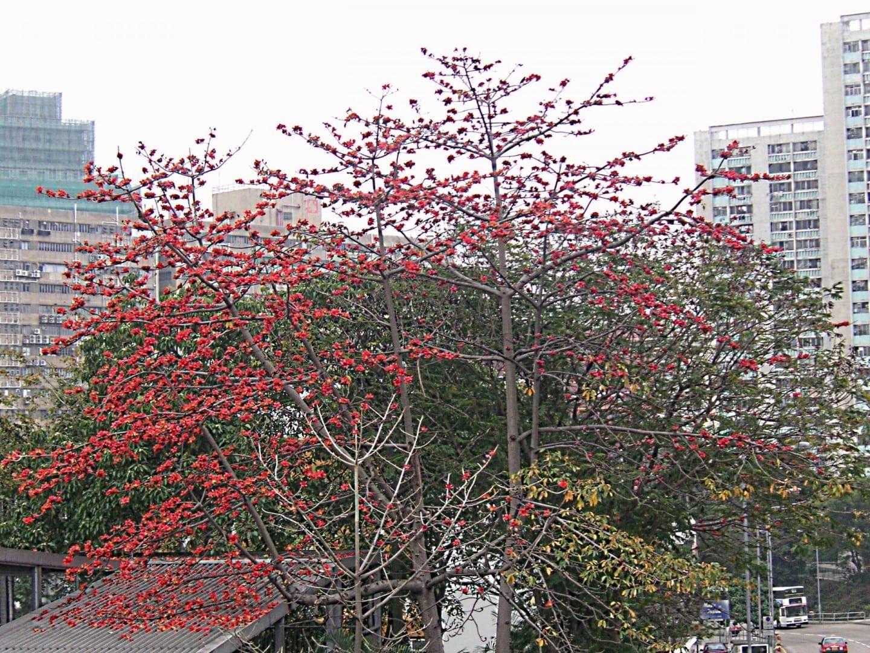 Un árbol de algodón, panzhihua en chino Panzhihua China