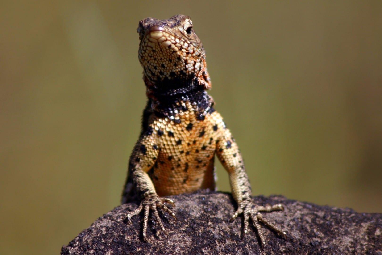 Un lagarto de lava macho en la isla de Santiago Las Islas Galápagos Ecuador