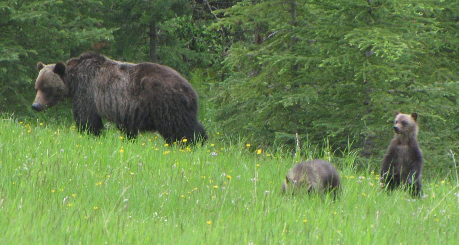 Un oso pardo con cachorros en Kananaskis. Kananaskis Canadá