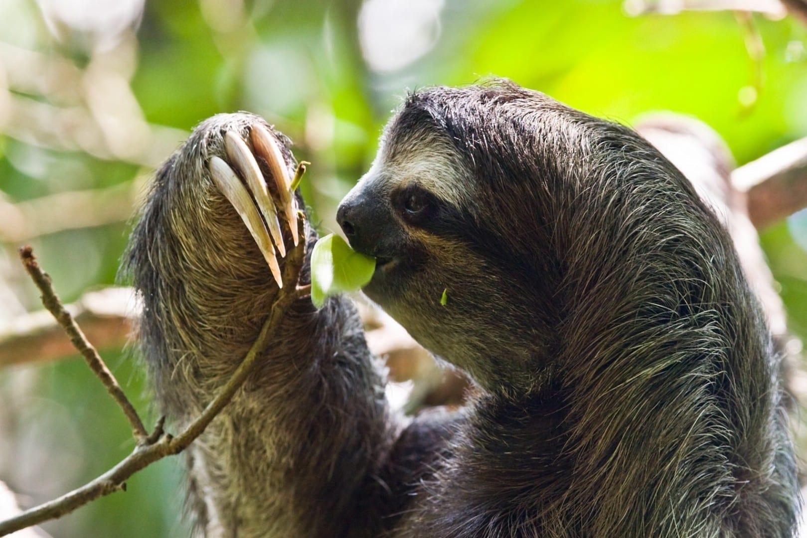 Un perezoso de tres dedos en el Parque Nacional Cahuita Cahuita Costa Rica
