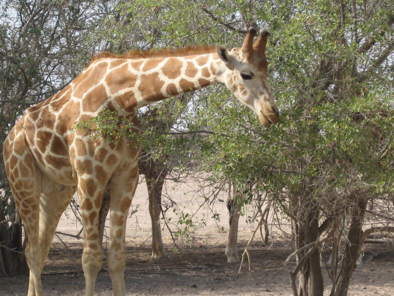 Una de las jirafas salvajes residentes Sir Bani Yas Island Emiratos Árabes Unidos