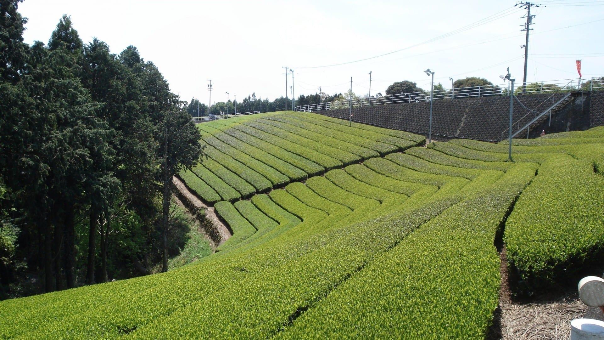 Una plantación de té en las tierras altas de Cameron Cameron Highlands Malasia