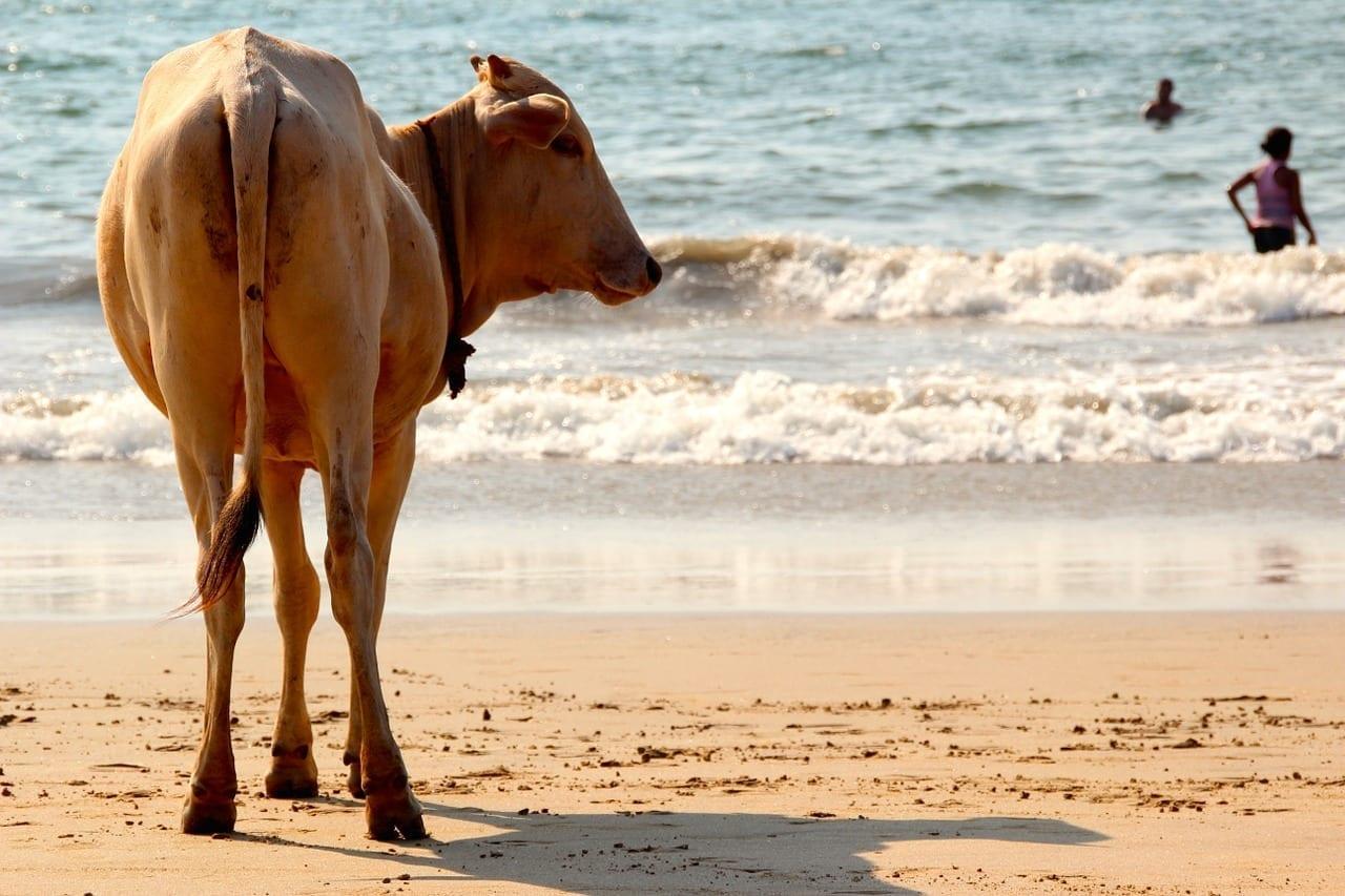 Vaca Playa Goa India
