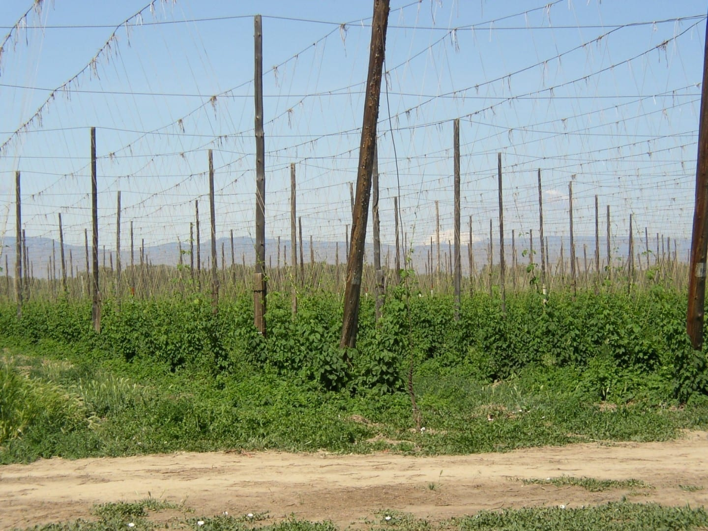 Yakima Valley Hop Yard, esta área produce el 77% del lúpulo de los Estados Unidos, un ingrediente clave en la fabricación de cerveza Yakima WA Estados Unidos